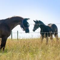 Quarter Horse Foal meets 30yo Quarter Horse Stallion