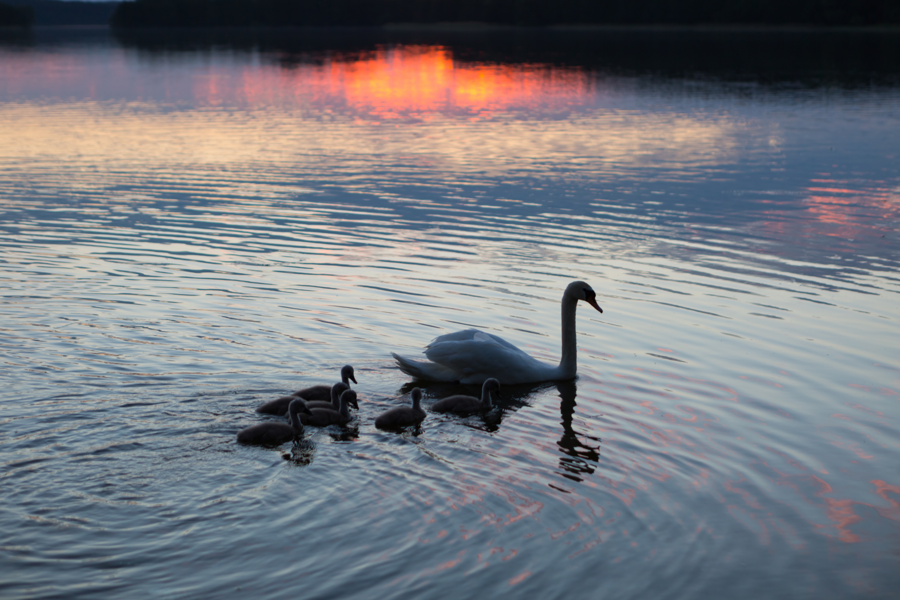 Silhouettes of swans family swimming on evening lake